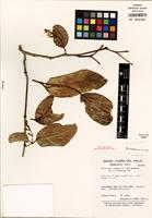 Isotype of Bunchosia brevistyla W.R. Anderson [family MALPIGHIACEAE]