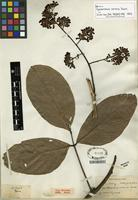 Syntype of Spatholobus varians Dunn [family FABACEAE]