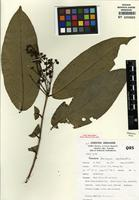 Isotype of Barongia lophandra [family MYRTACEAE]