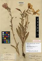 Isolectotype of Oenothera elata subsp. hirsutissima (A. Gray ex S. Watson) W. Dietr. [family ONAGRACEAE]