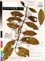Isotype of Pauridiantha pleiantha Ntore&Dessein [family RUBIACEAE]