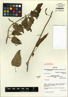 Isotype of Siphocampylus sanchezii Lammers [family CAMPANULACEAE]
