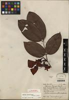 Type of Eperua glabriflora (Ducke) R.S. Cowan [family FABACEAE]