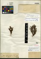 Isotype of Chamaecyparis nootkatensis (D. Don) Spach [family CUPRESSACEAE]