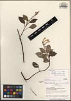 Holotype of Scutellaria tutensis A. Pool [family LAMIACEAE]