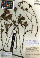 Isotype of Barnadesia hutchisoniana Ferreyra [family ASTERACEAE]