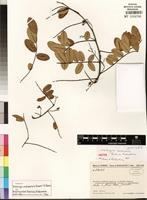 Isotype of Dalbergia andapensis Bosser&R. Rabev. [family FABACEAE]