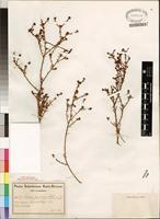 Type of Thesium hispidum Schlect. [family SANTALACEAE]