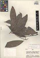 Holotype of Amyris crebrinervis Gereau [family RUTACEAE]