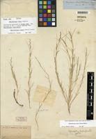 Isotype of Muhlenbergia repens (J. Presl) Hitchc. [family POACEAE]