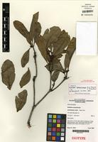 Isotype of Eidothea zoexylocarya A.W. Douglas & B. Hyland [family PROTEACEAE]