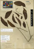 Isotype of Gomphandra mappioides Valeton [family STEMONURACEAE]