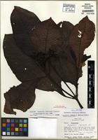 Holotype of Psychotria sixaolensis C.W. Ham. [family RUBIACEAE]