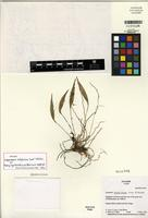 Holotype of Lepanthes cotylisca Luer & Hirtz [family ORCHIDACEAE]