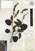 Isotype of Bauhinia lingyuenensis T.C. Chen [family FABACEAE]