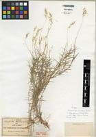 Isotype of Muhlenbergia brevifolia Scribn. ex Beal [family POACEAE]