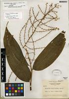 Holotype of Maianthemum gigas var. gigas [family ASPARAGACEAE]