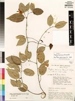 Isotype of Baphia longipedicellata subsp keniensis (Brummitt) Soladoye [family FABACEAE]