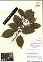 Isotype of Gossia bamagensis N.W. Snow & Guymer [family MYRTACEAE]