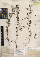 Lectotype of Jacquemontia smithii B.L. Rob. & Greenm. [family CONVOLVULACEAE]