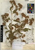 Isotype of Steviopsis amblyolepis (B.L. Rob.) R.M. King & H. Rob. [family ASTERACEAE]