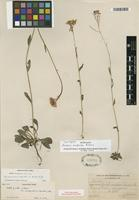 Isotype of Arabis modesta Rollins [family BRASSICACEAE]