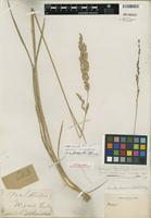 Isotype of Poa secunda J. Presl [family POACEAE]