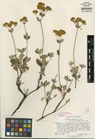 Isotype of Eriogonum umbellatum var. argus Reveal [family POLYGONACEAE]