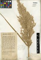 Isotype of Phragmites australis subsp. chrysanthus (Mabille) Soják [family POACEAE]