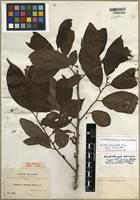 Lectotype of Dendrobangia boliviana Rusby [family CARDIOPTERIDACEAE]