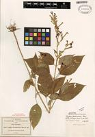 Isotype of Cuphea koehneana Rose [family LYTHRACEAE]