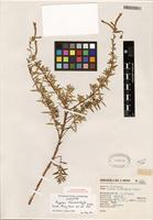 Isotype of Cuphea trichochila R.C. Foster [family LYTHRACEAE]