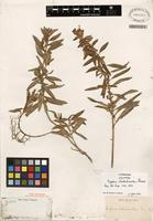 Isotype of Cuphea lobelioides Griseb. [family LYTHRACEAE]