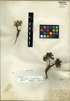 Isotype of Pericalymma crassipes Schauer [family MYRTACEAE]