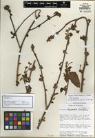 Holotype of Jatropha stevensii G.L. Webster [family EUPHORBIACEAE]