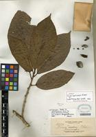 Isotype of Ficus benguetensis Merr. [family MORACEAE]