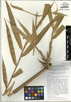 Isotype of Chusquea pohlii L.G. Clark [family POACEAE]