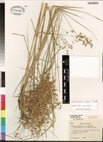 Isotype of Loudetiopsis falcipes (C.E. Hubb.) J.B. Phipps [family POACEAE]
