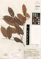 Isotype of Mabea occidentalis Benth. [family EUPHORBIACEAE]