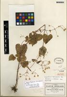 Isotype of Ageratina choricephala (B.L. Rob.) R.M. King & H. Rob. [family ASTERACEAE]