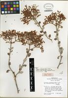 Isotype of Eriogonum corymbosum var. velutinum Reveal [family POLYGONACEAE]
