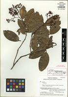 Holotype of Ouratea marahuacensis Maguire & Steyerm. [family OCHNACEAE]
