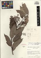 Holotype of Nectandra grisea Rohwer [family LAURACEAE]