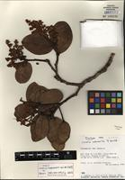 Holotype of Licaria subsessilis van der Werff [family LAURACEAE]