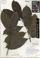 Holotype of Faramea spathacea Müll. Arg. ex Standl. [family RUBIACEAE]