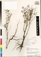 Holotype of Orthosiphon miserabilis A.J. Paton&Hedge [family LAMIACEAE]