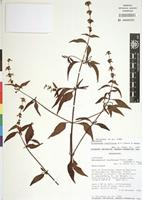 Original material? of Platostoma laxiflorum A.J. Paton&Hedge [family LAMIACEAE]
