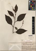 Isotype of Cordia obesa I.M. Johnst. [family BORAGINACEAE]