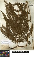 Isotype of Pteris yunnanensis H. Christ [family PTERIDACEAE]