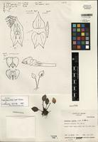 Holotype of Lepanthes celox Luer & Hirtz [family ORCHIDACEAE]